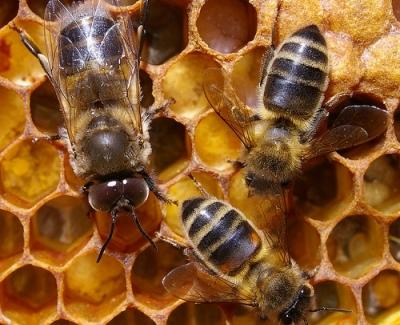 Интересные факты о пчелах 06757a