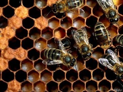 Интересные факты о пчелах 419973