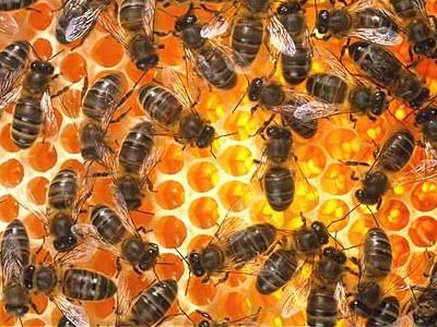 Интересные факты о пчелах 72cfc4