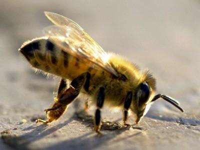 Интересные факты о пчелах D21873