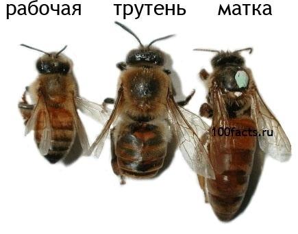 Интересные факты о пчелах Daf00b