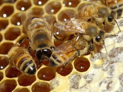 Интересные факты о пчелах E3b6d7