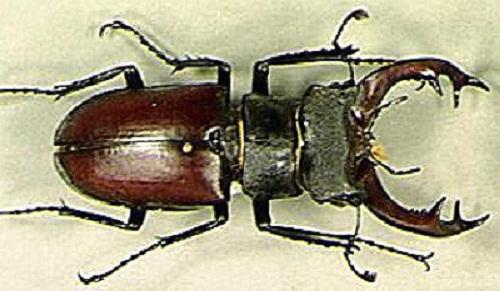Самые большие жуки в мире %D0%B6%D1%83%D0%BA-%D0%BE%D0%BB%D0%B5%D0%BD%D1%8C