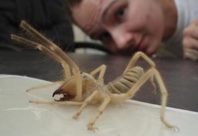 Самые большие жуки в мире 2007_June_Camel_Spider3_small