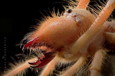 Самые большие жуки в мире Camel_Spiders_Or_Matevenados