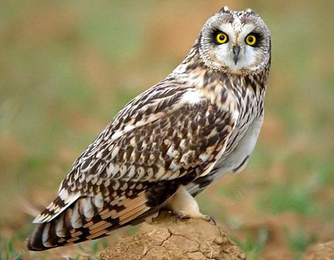 Факты о совах Owl