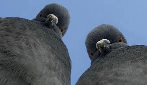Удивительные факты о голубях %D0%B3%D0%BE%D0%BB%D1%83%D0%B1%D0%B8