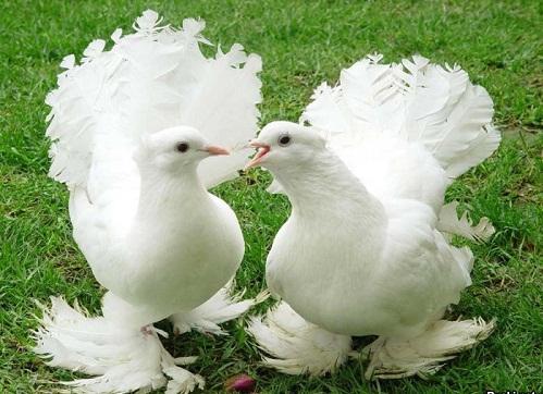 Удивительные факты о голубях %D0%BF%D0%B0%D1%80%D0%B0-%D0%B3%D0%BE%D0%BB%D1%83%D0%B1%D0%B5%D0%B9