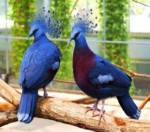 Удивительные факты о голубях 37015257_1