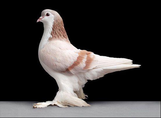 Удивительные факты о голубях Golubi_06