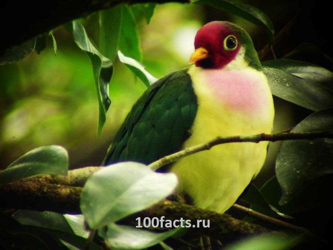 Удивительные факты о голубях Jambu-fruit-dove-22