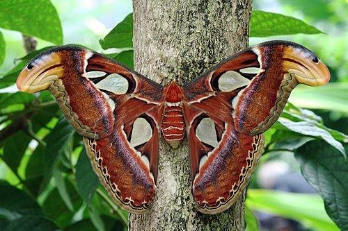 Интересные факты о бабочках %D0%B0%D1%82%D0%BB%D0%B0%D1%81