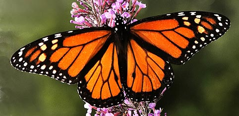 Интересные факты о бабочках %D0%B1%D0%B0%D0%B1%D0%BE%D1%87%D0%BA%D0%B0-%D0%BC%D0%BE%D0%BD%D0%B0%D1%80%D1%85
