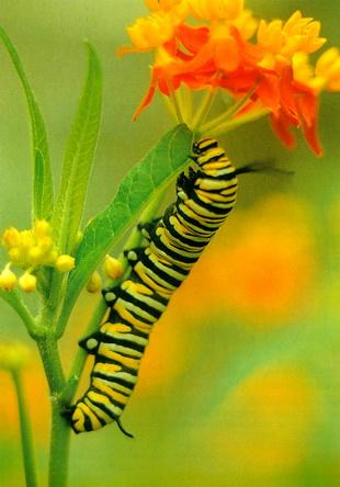 Интересные факты о бабочках %D0%B3%D1%83%D1%81%D0%B5%D0%BD%D0%B8%D1%86%D0%B0
