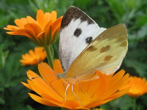 Интересные факты о бабочках %D0%BA%D0%B0%D0%BF%D1%83%D1%81%D1%82%D0%BD%D0%B8%D1%86%D0%B0