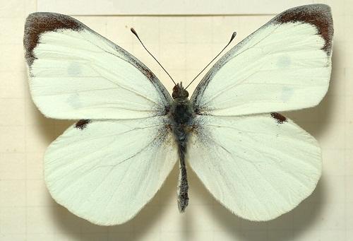 Интересные факты о бабочках %D0%BA%D0%B0%D0%BF%D1%83%D1%81%D1%82%D0%BD%D0%B8%D1%86%D0%B02