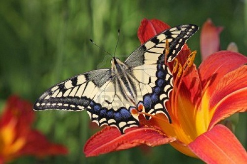 Интересные факты о бабочках %D0%BC%D0%B0%D1%85%D0%B0%D0%BE%D0%BD