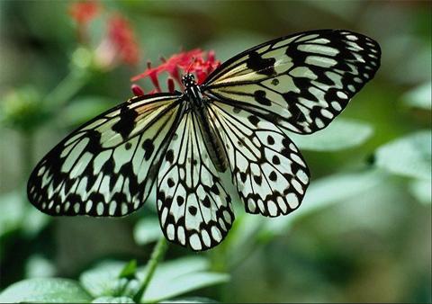 Интересные факты о бабочках %D1%80%D0%B0%D0%B4%D1%83%D0%B6%D0%BD%D1%8B%D0%B5-%D0%B1%D0%B0%D0%B1%D0%BE%D1%87%D0%BA%D0%B8