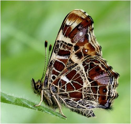 Интересные факты о бабочках 1289132085_atlasknyaz