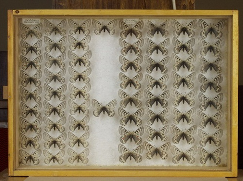Интересные факты о бабочках 15-2