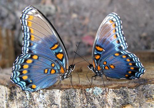 Интересные факты о бабочках 29832398_babochki