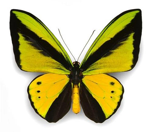 Интересные факты о бабочках Butterflies_8