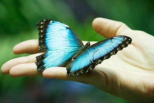 Интересные факты о бабочках Interesnye_fakty_o_babochkax_sg_readmas.ru_1