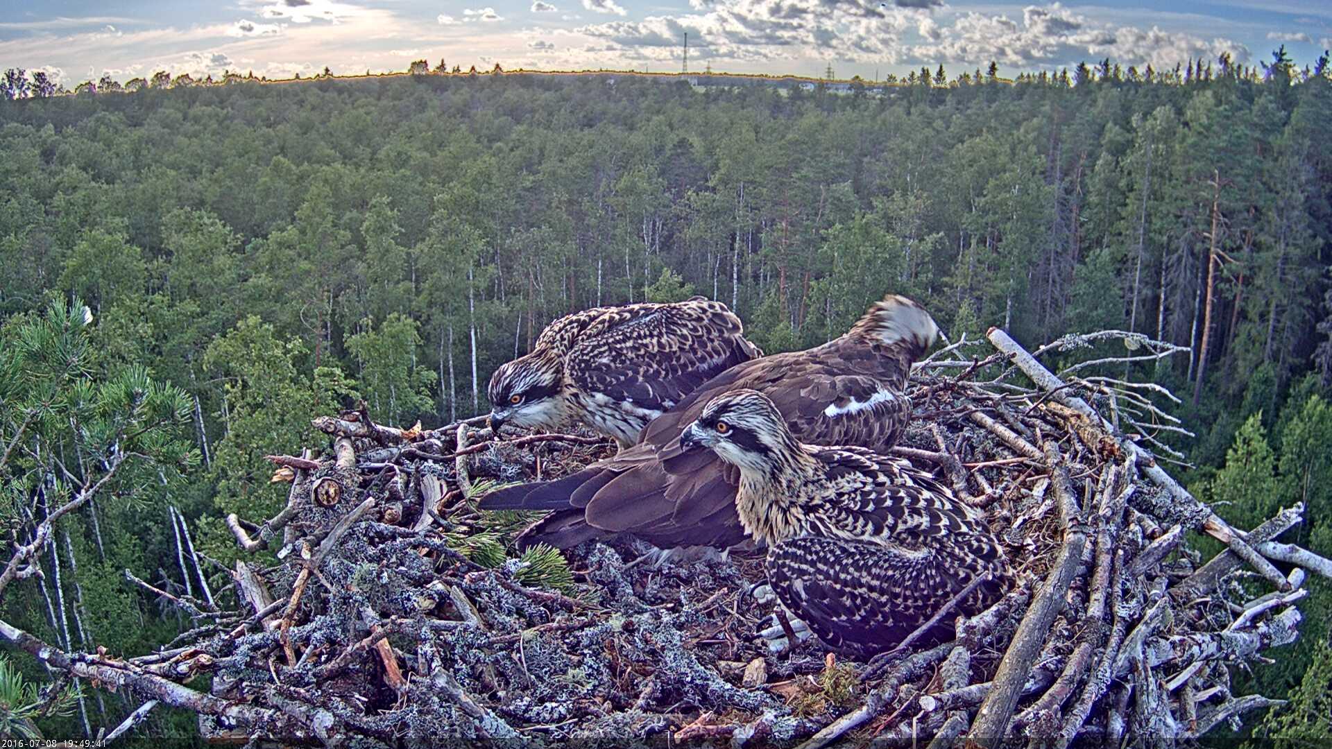 Estonian Osprey Nest Mai & Mati 2016 Kalakotkas-2016-07-08-19-49
