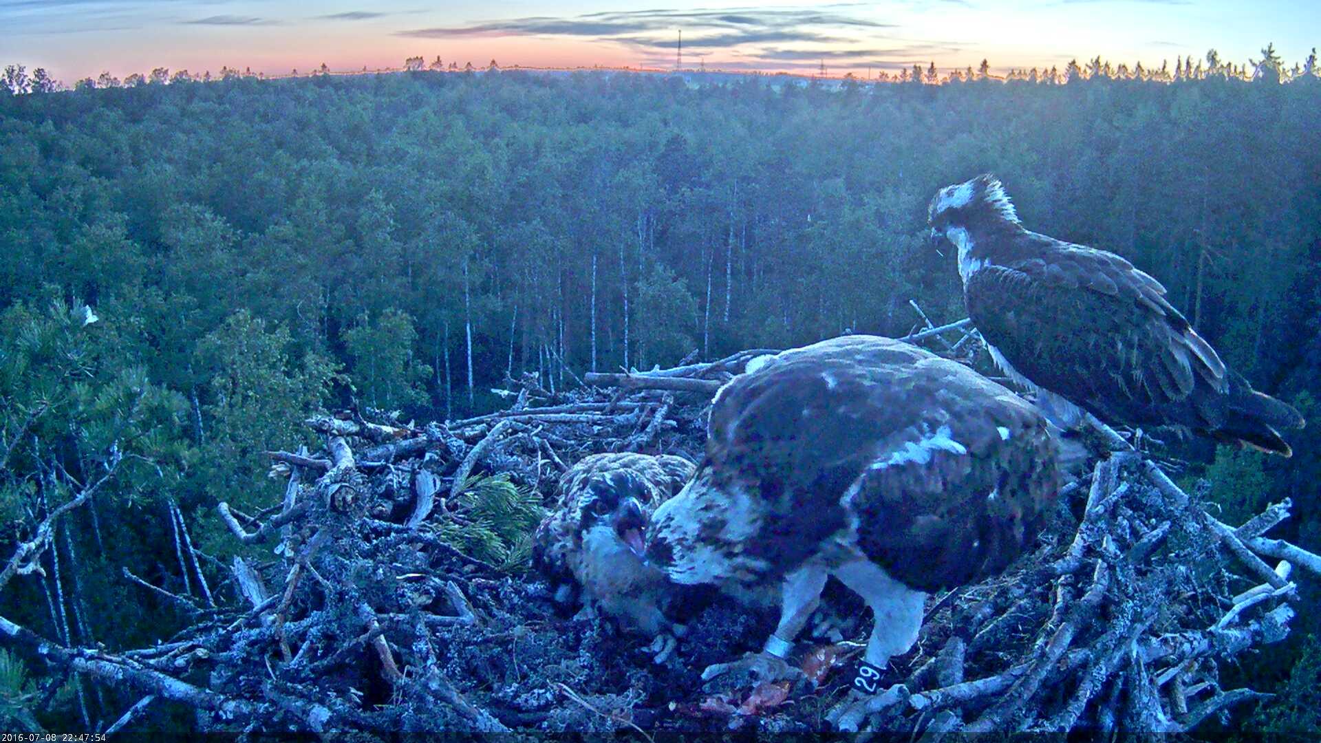 Estonian Osprey Nest Mai & Mati 2016 Kalakotkas-2016-07-08-22-47