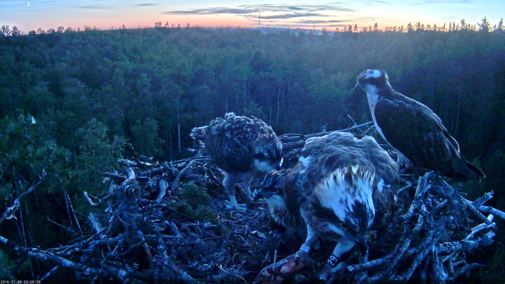Estonian Osprey Nest Mai & Mati 2016 Kalakotkas-2016-07-08-22-58