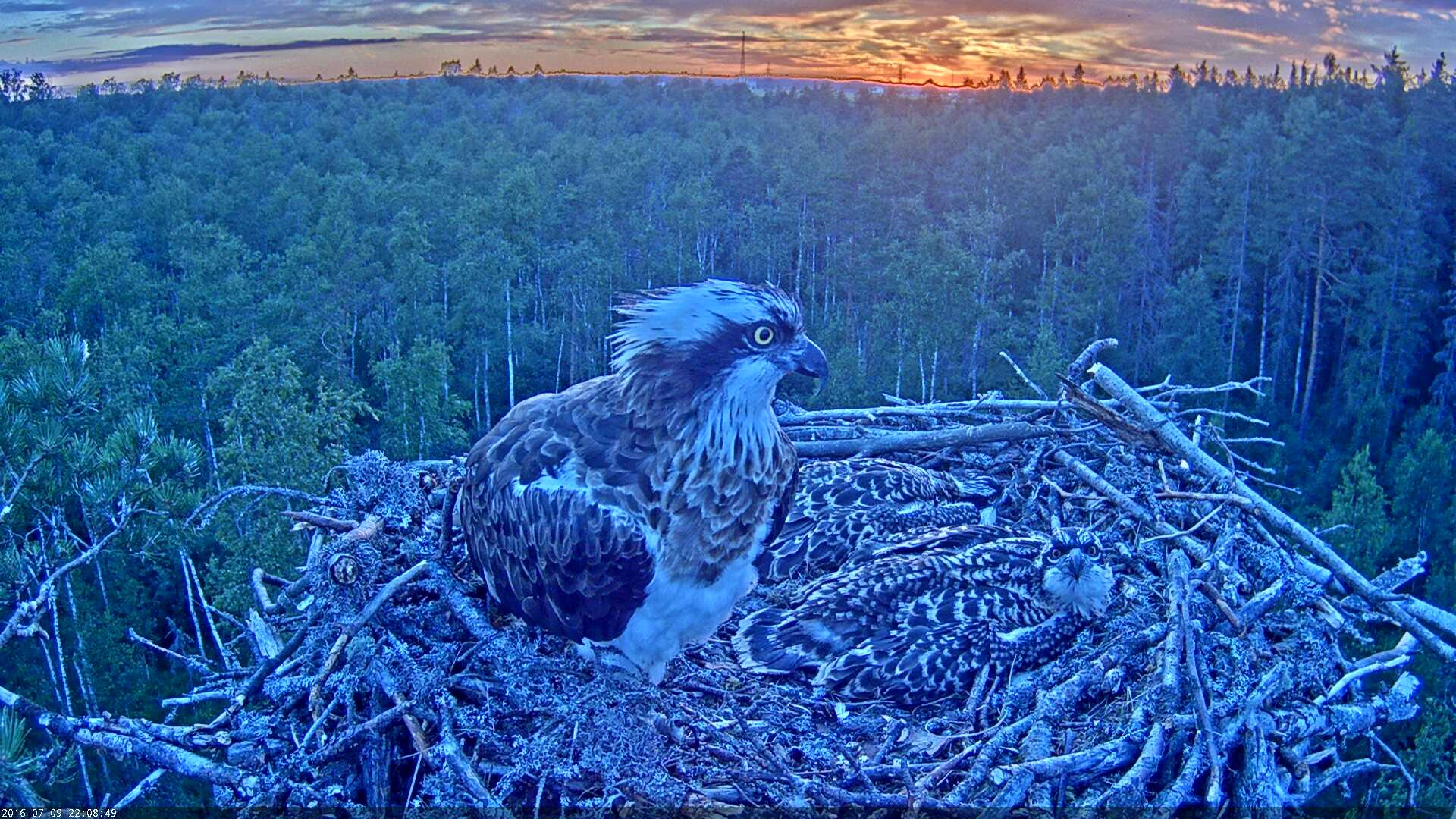 Estonian Osprey Nest Mai & Mati 2016 Kalakotkas-2016-07-09-22-08