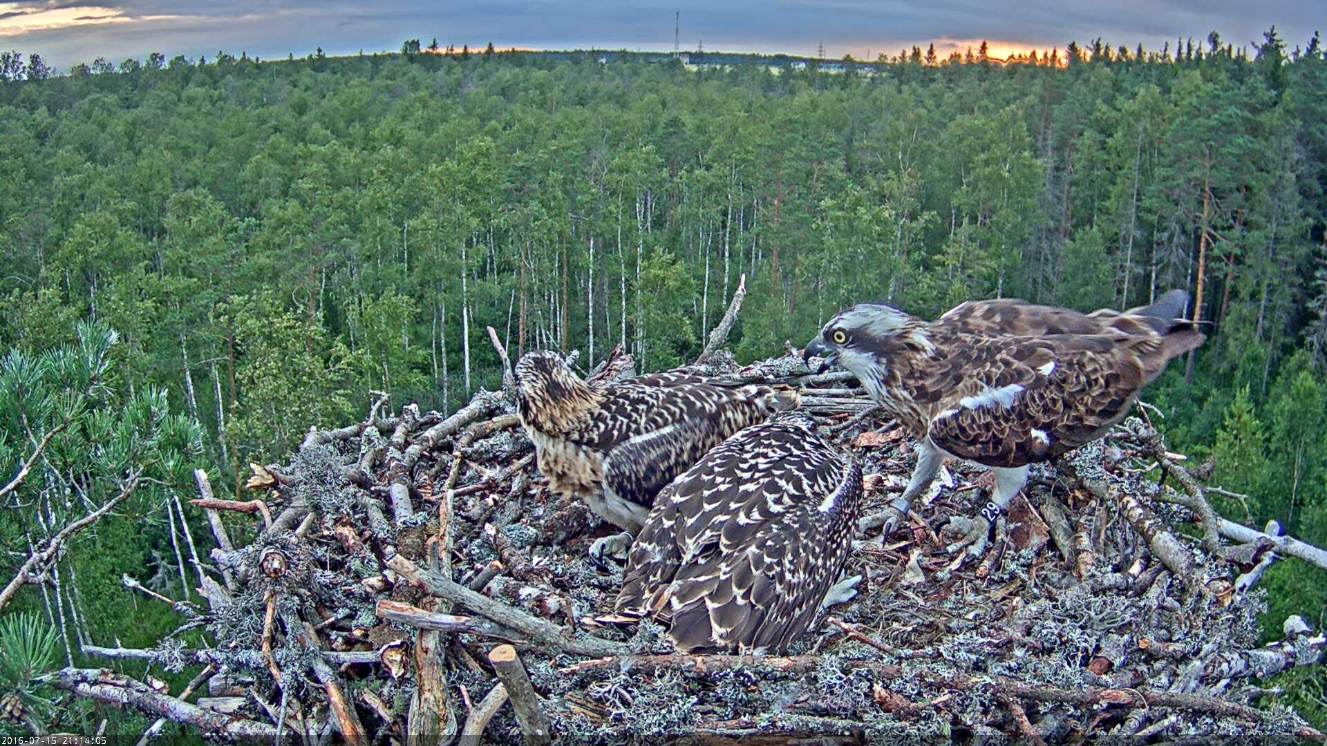 Estonian Osprey Nest Mai & Mati 2016 Kalakotkas-2016-07-15-21-14