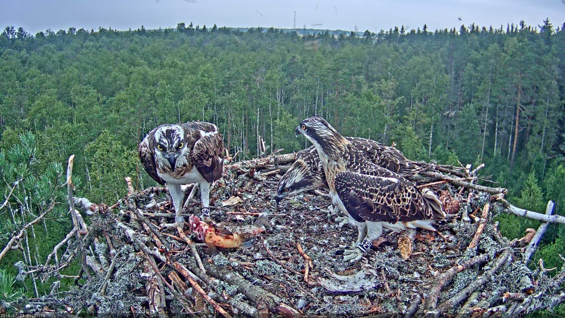Estonian Osprey Nest Mai & Mati 2016 Kalakotkas-2016-07-23-21-07
