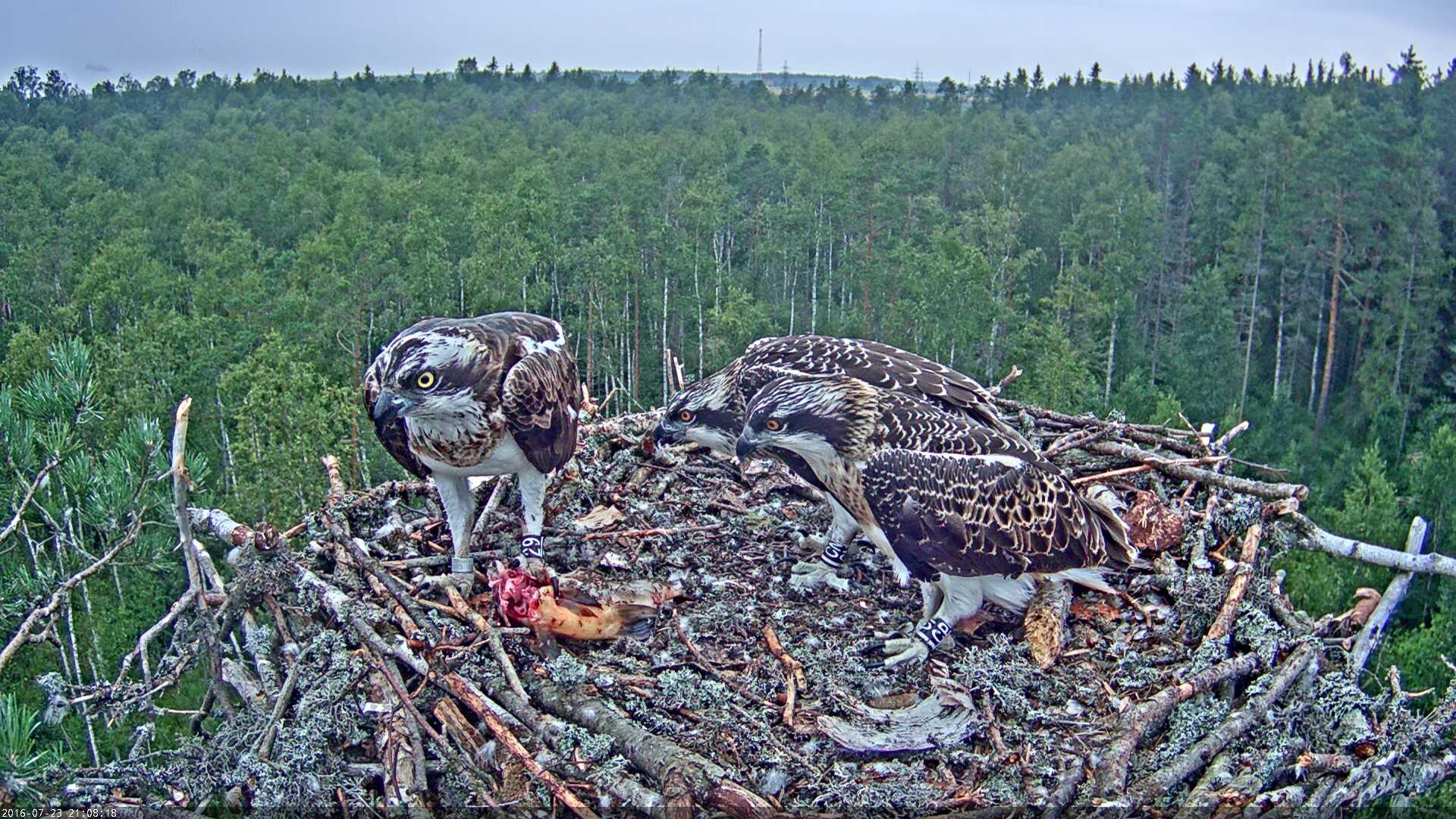 Estonian Osprey Nest Mai & Mati 2016 Kalakotkas-2016-07-23-21-08