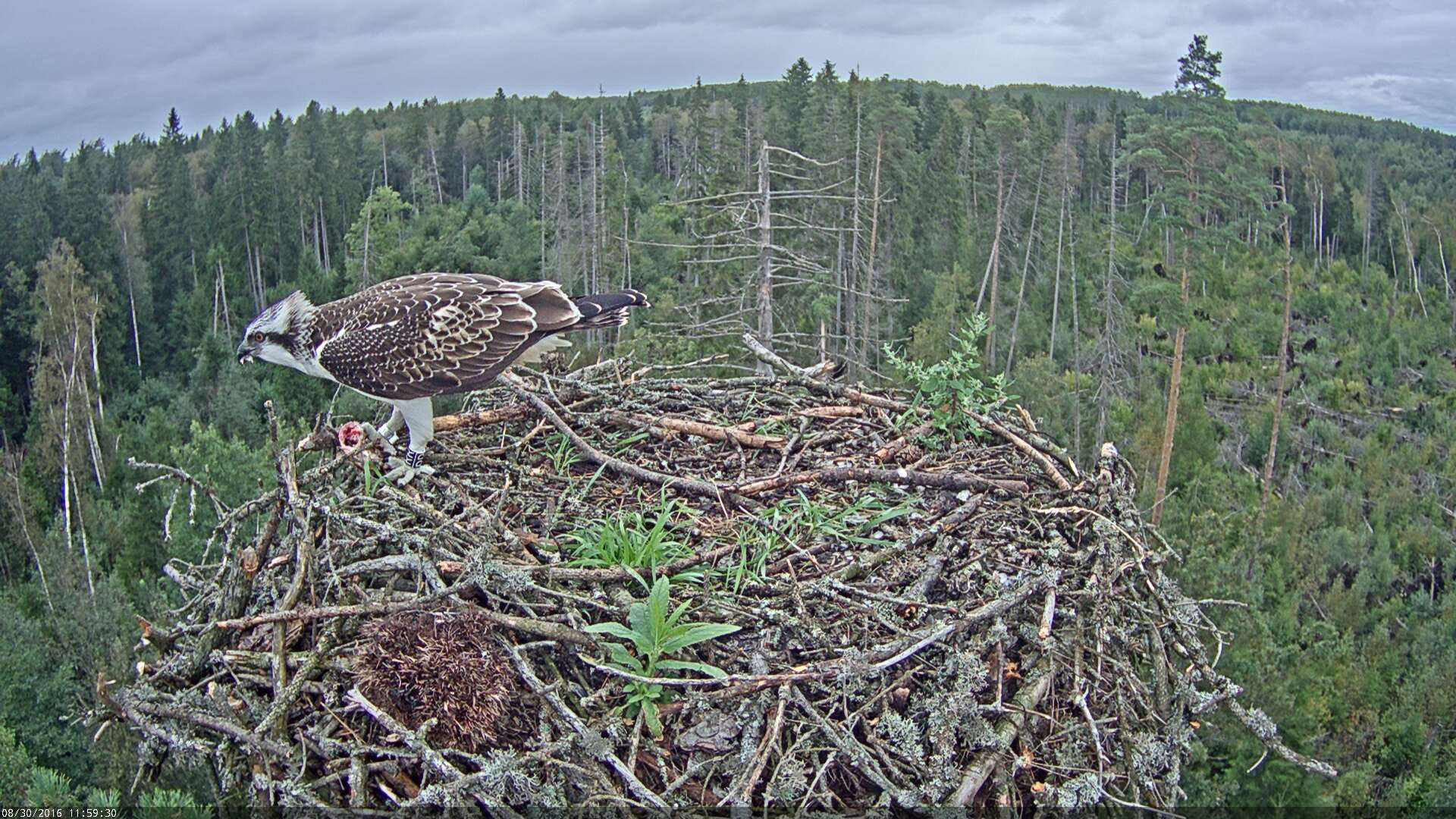 Estonian Osprey Nest ~Irma & Ivo~ 2016 - Page 2 Kalakotkas2-2016-08-30-11-59
