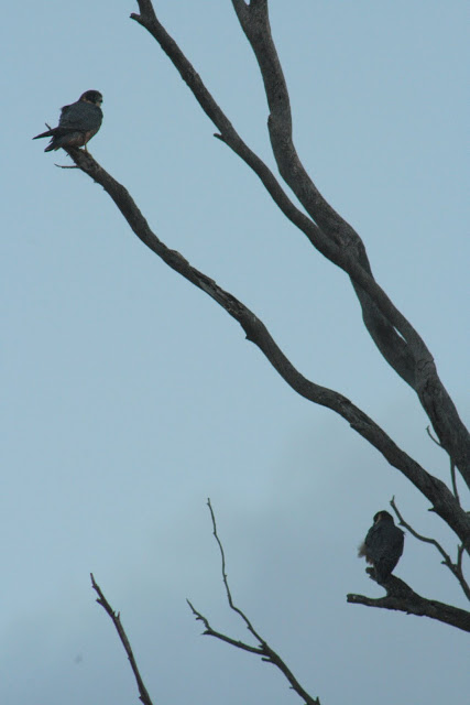 Falconiformes. sub Falconidae - sub fam Falconinae - gênero Falco - Página 2 070a