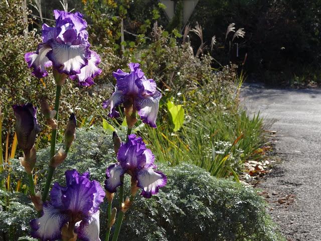 les iris remontants DSC03314