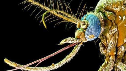 Просто естественный отбор по Дарвину (?) — или Генная инженерия живых существ 140330161401_mosquitoes_512x288_bbc_nocredit