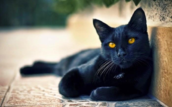 Macet e Zeza Black-cats-awesomelycute.com-14