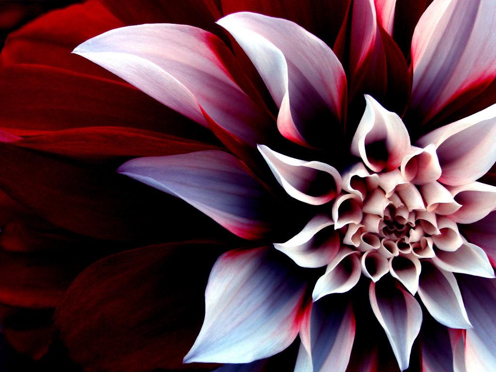 Cvetna oaza - Page 3 Beautiful%2BEnigmatic%2BFlower