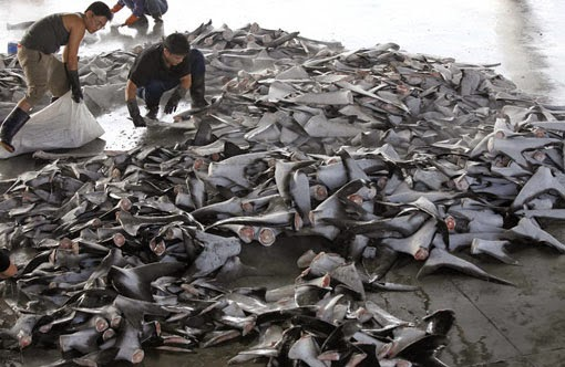 Le Saviez-vous ? Les attaques de requins... et les attaques d'humains Taiwan-surpeche-requin