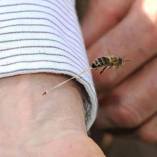 لماذا تموت النحلة بعدما تَلسع الإنسان ؟  282207_335431113203660_889760768_n