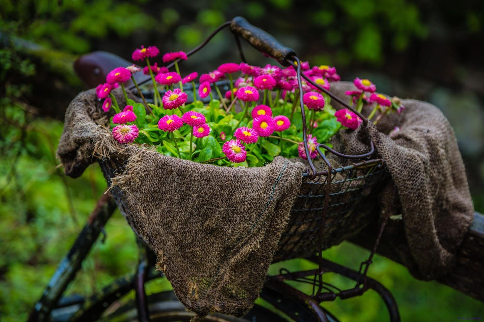 LA PRIMAVERA LLEGO¡!! Canasta-con-flores-sobre-una-bicicleta-cycle-color-flowers-