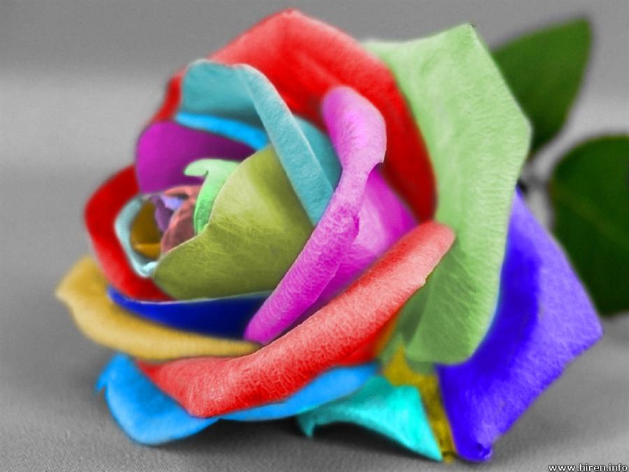 பட்டு வண்ண ரோஜாவாம், பார்த்த கண்ணு மூடாதாம்..! (புகைப்படங்கள்) Multi_color_rose_by_nm7570espira-d370ais