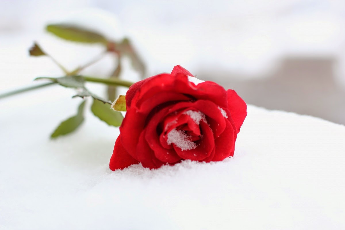 Homélie Audio: vous avez 10 minutes ?  Rose-rouge-sur-la-neige-blanche-1359289928_73