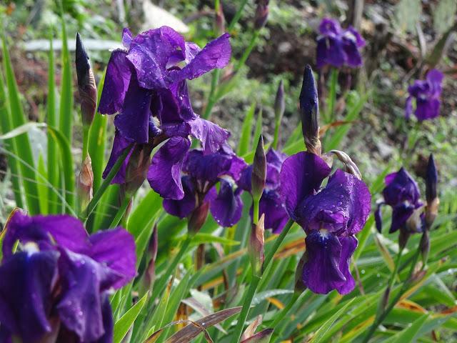 Iris x germanica 'Crimson King' - Barr and Sons 1893 DSC04311