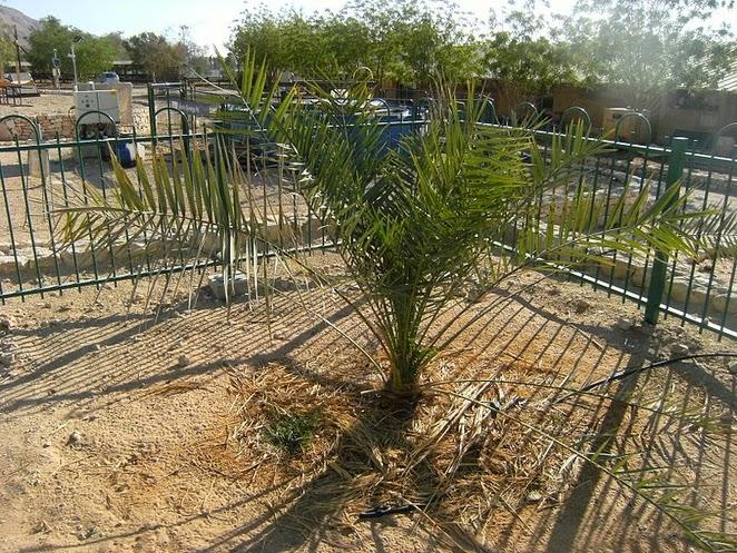 Milagro en Israel: un árbol Bíblico extinto, volvió a brotar de semilla de 2000 años TAMAR