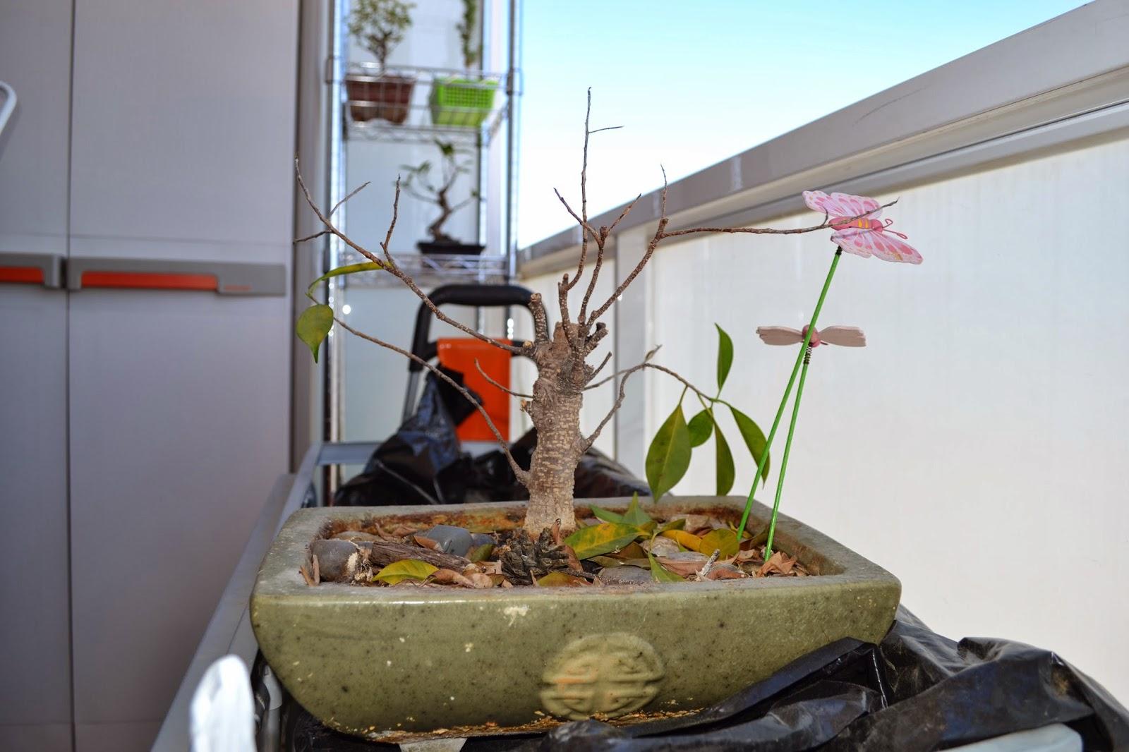 Recuperar urgente un Ficus Retusa DSC_0080