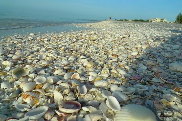 4 شواطئ صدفية مذهلة حول العالم Sanibel-shell-2%5B2%5D