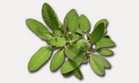 15 Plants and Herbs That Can Boost Lung Health, Heal Respiratory Infections And Even Repair Pulmonary Damage Sage-13